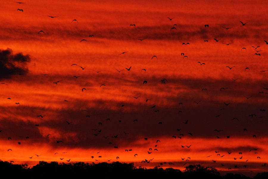 Thousands of flying foxes rise from the mangroves on their sunset flight to find food
