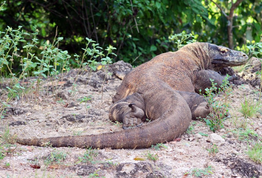 "Dragon on Komodo warming up in the morning sun. Seems to be saying, ""Yes, I know you are there..."""